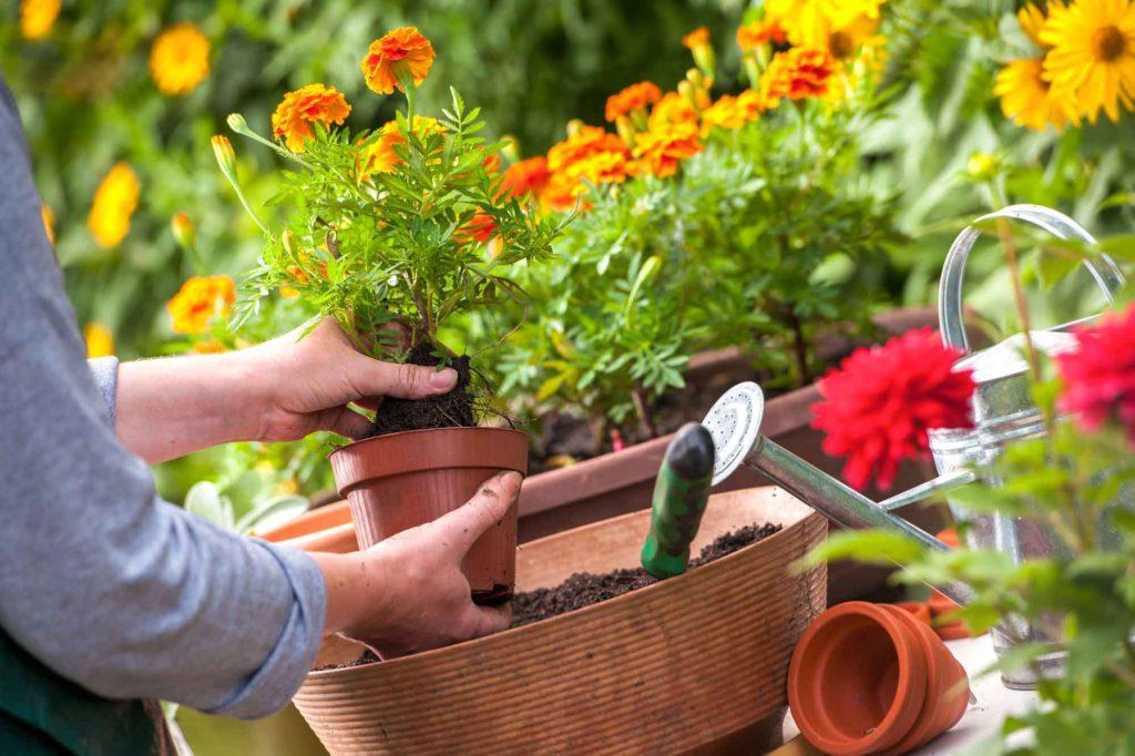 Presádzanie kvetov na záhrade