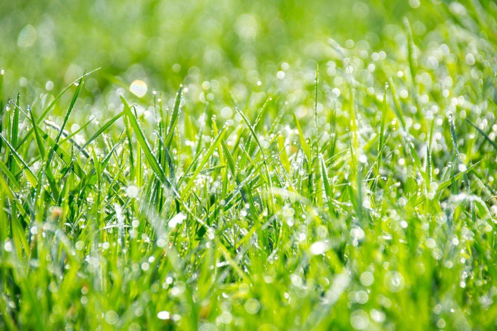 Rosa na tráve