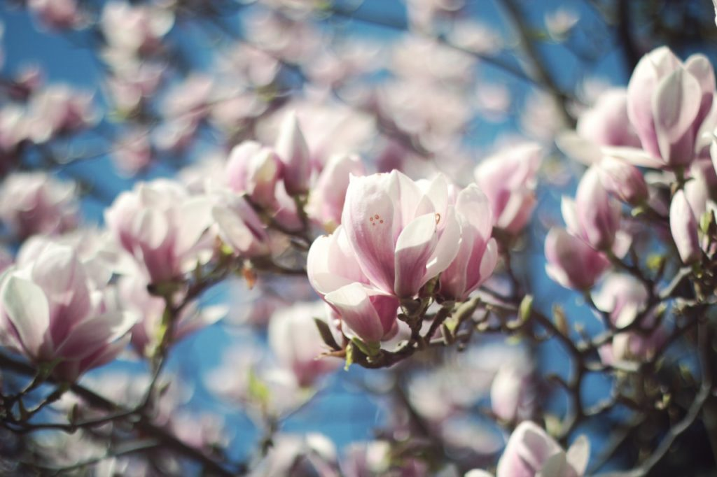 Bieloružové kvety na strome