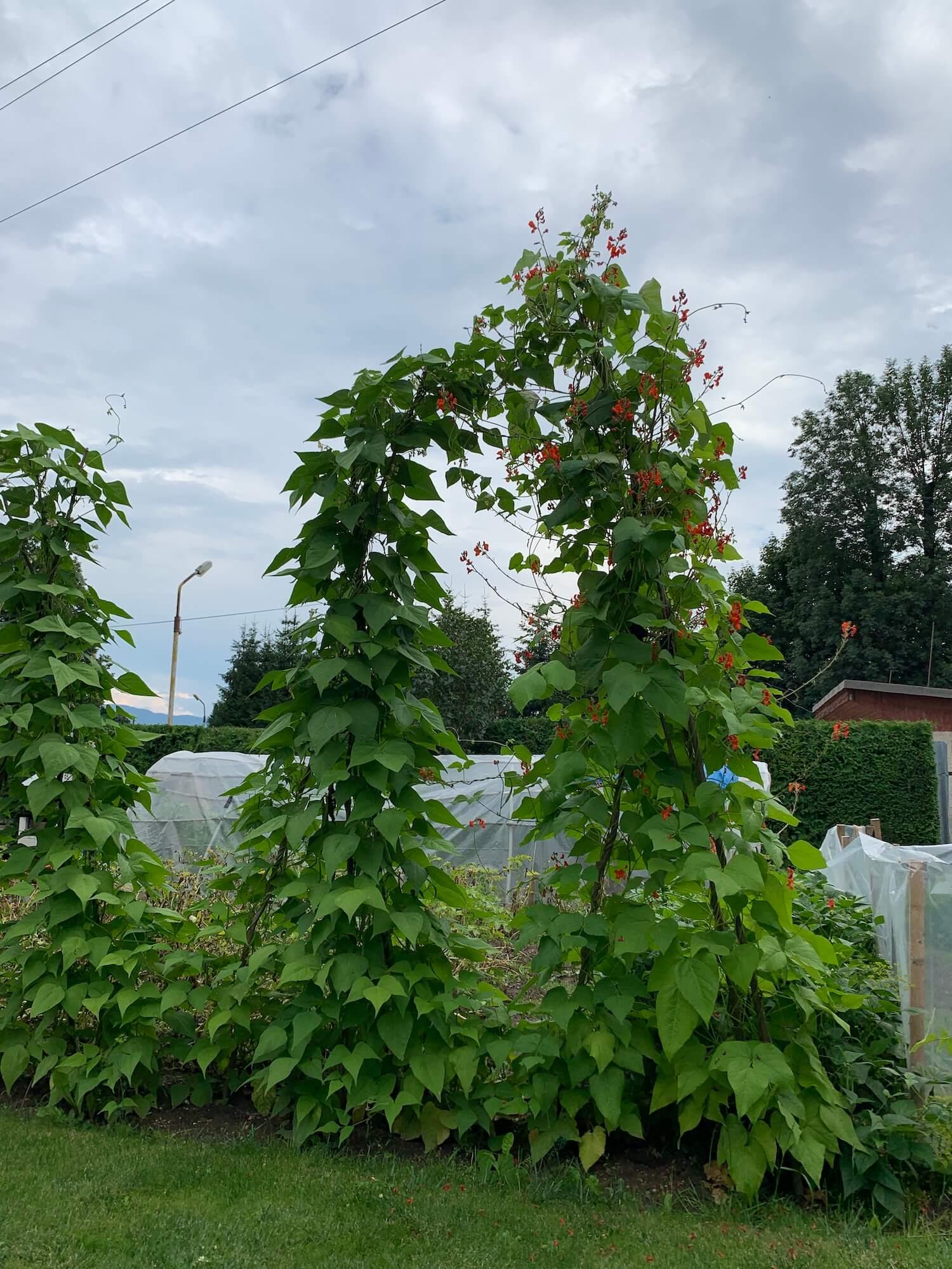fazuľa v záhrade