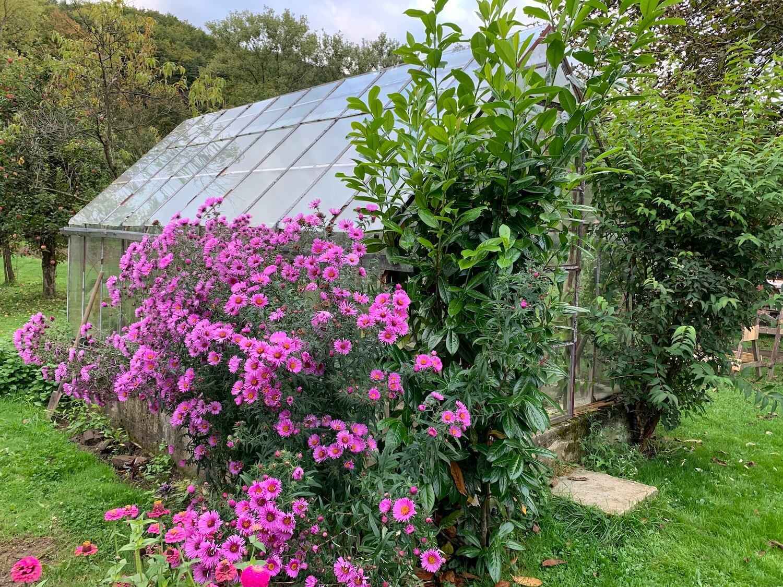Tmavé ružové kvety v záhrade pri skleníku