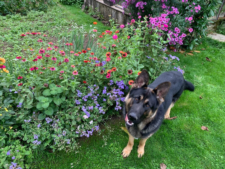 Pes stojí pri kvetoch v záhrade