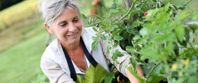Staršia žena oberá paradajky na záhrade