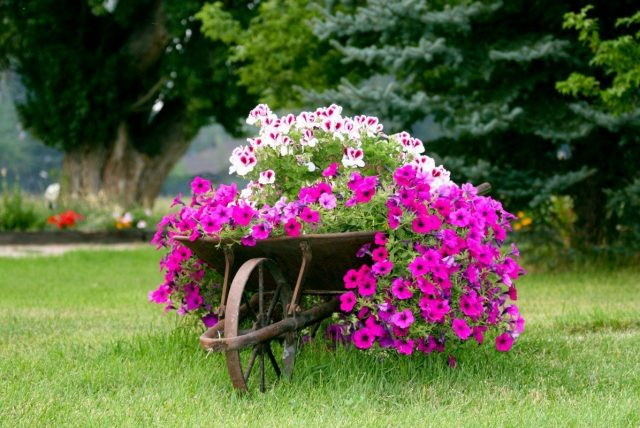 Fúrik s ružovými kvetmi
