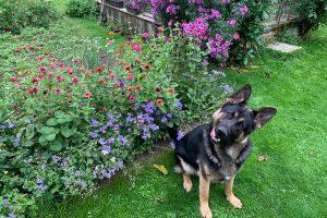 Pes sedí s vyplazeným jazykom pri kvetoch v záhrade